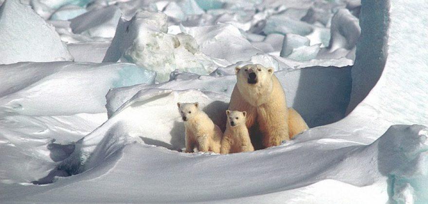 polar-bear-1509103_640_pixabay_keinBildnachweis